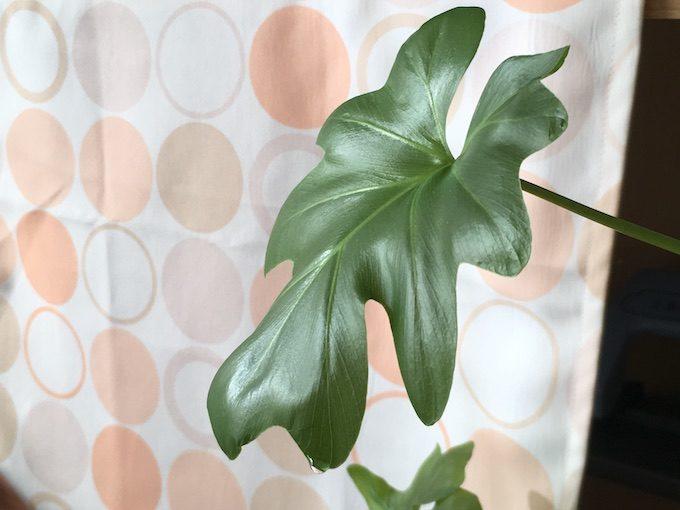 観葉植物の葉についている水滴