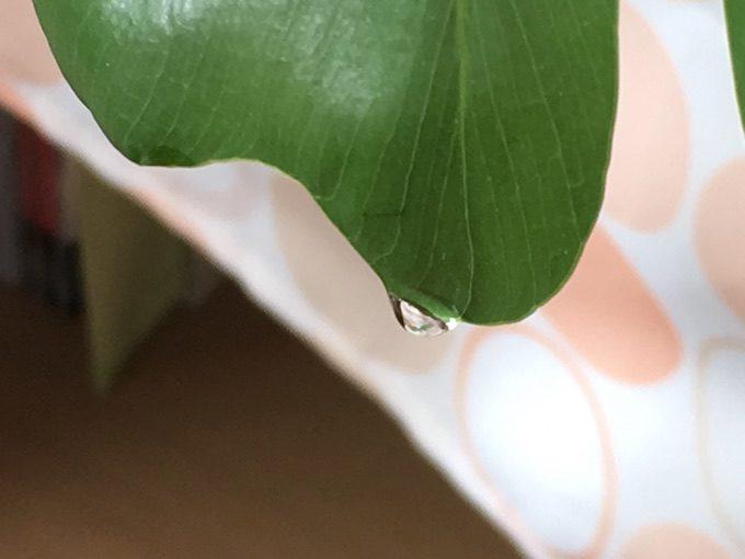 観葉植物の葉についている水滴のアップ