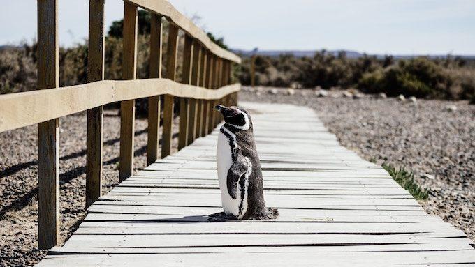 柵の前で佇む1羽のペンギン