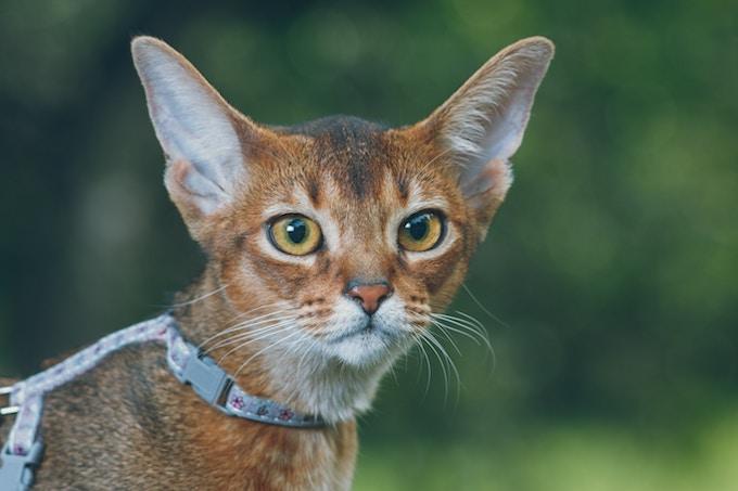 赤茶色の猫
