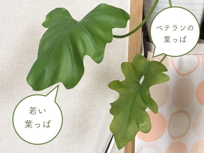 若い葉とベテランの葉
