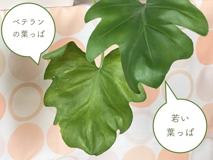 若い葉とベテランの葉2