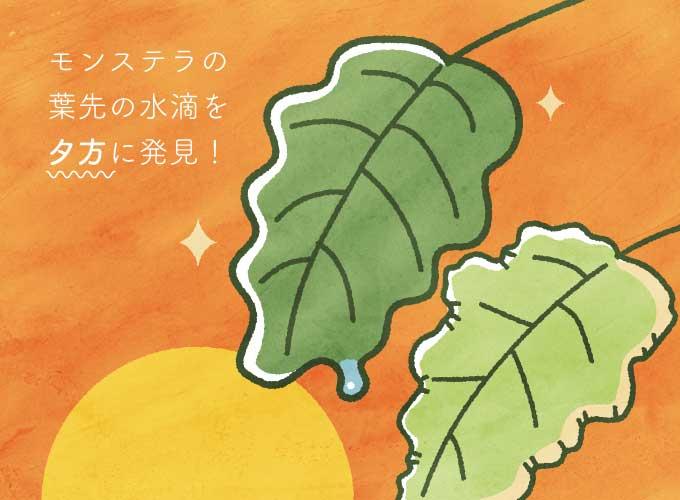モンステラの葉の水滴を夕方に発見!