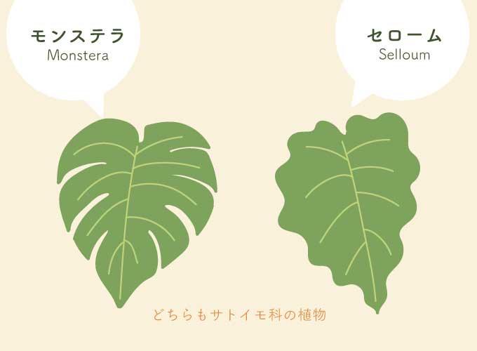 モンステラとセロームの葉の違い