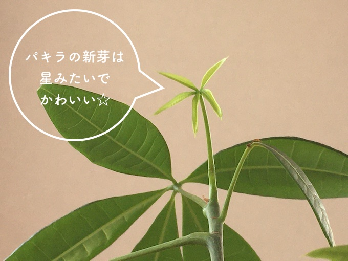パキラの新芽は星みたいでかわいい