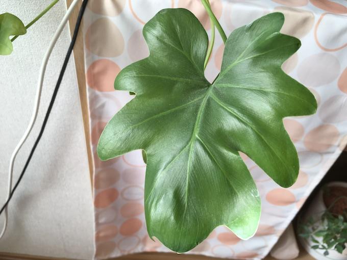 セロームの若い葉っぱ