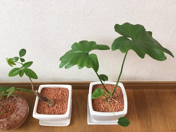 12月現在の観葉植物たちアップ2
