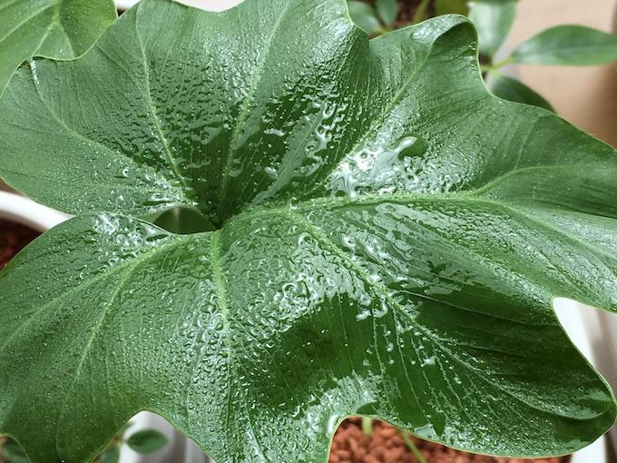 セロームへの葉水の失敗例