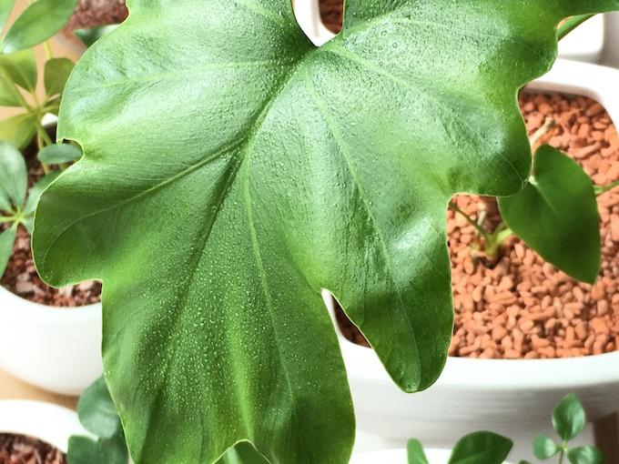 セロームへの葉水の成功例