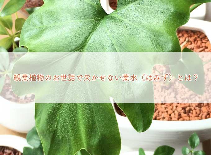 観葉植物のお世話で大切な葉水とは?